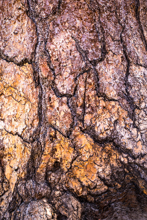 ponderosa pine: California Ponderosa Pine Stock Photo