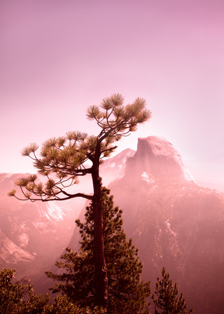 half dome: Yosemite National Park view of tree with Half Dome in the background seen from Glacier Point