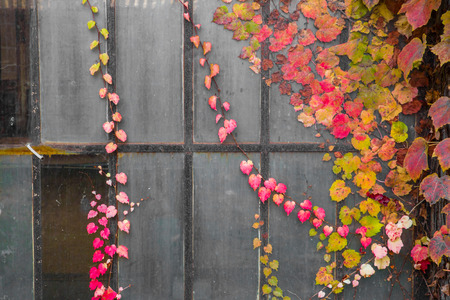 abandoned warehouse: Heart shaped red pink autumn leaves against dark grungy industrial windows Stock Photo