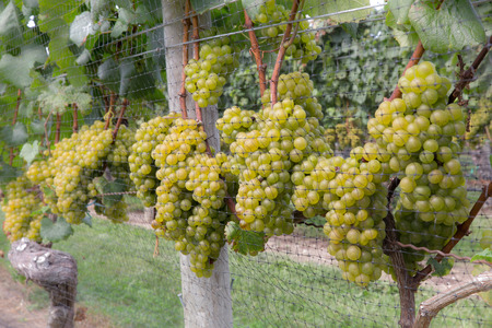 sauvignon blanc: Grapes on vine in winery vineyard
