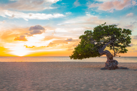 Idyllic view of tropical Aruba beach with Divi Divi tree at sunset