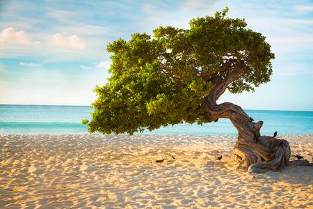 ディビ ディビ アルバ ビーチの木 写真素材