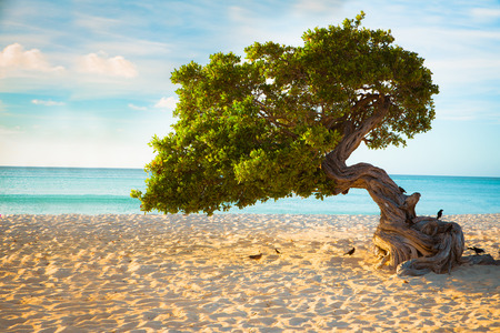 Divi Divi tree on the beach of Aruba