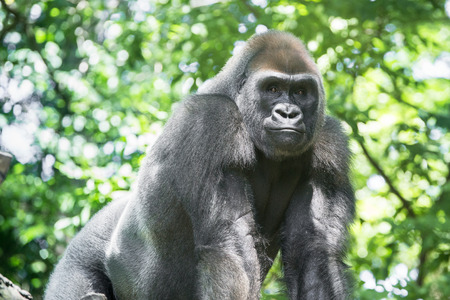 Typical Western Lowland Gorilla among the trees
