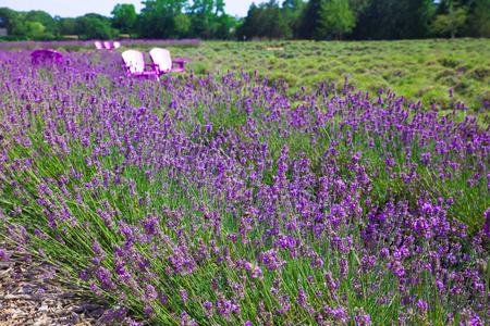 Beautiful lavender field with adirondack chairs, Long Island New York