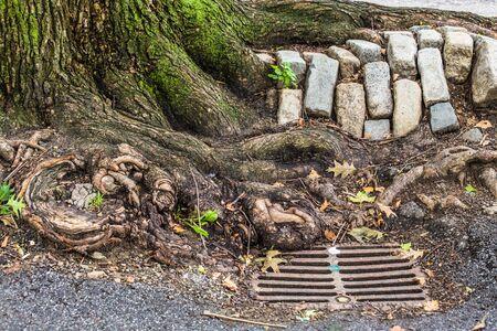 Urban New York City details; tree roots, cobblestone and storm drain seen on Manhattan street Stock fotó