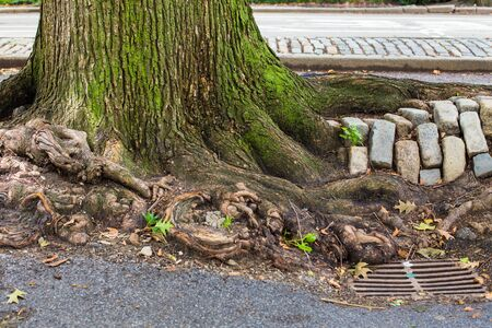 Urban New York City details; tree roots, cobblestone and storm drain seen on Manhattan street 新聞圖片