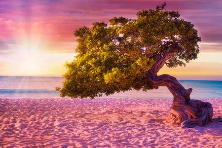 Beautiful windblown Divi Divi tree on Eagle Beach in Aruba at sunset.