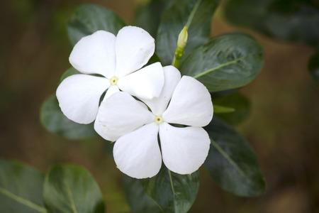 cayenne: Cayenne jasmine