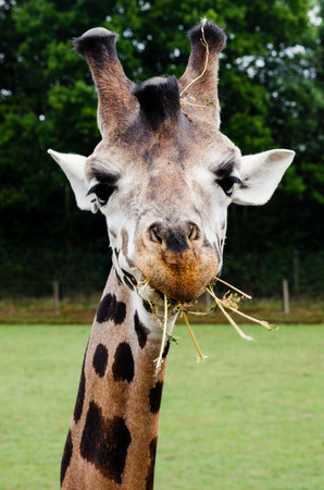 reserved: A giraffe eating Stock Photo