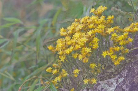 Sedum susanae Hamet. Forest flower at Mountain Chiang Dao national park, Chiang Mai, Thailand