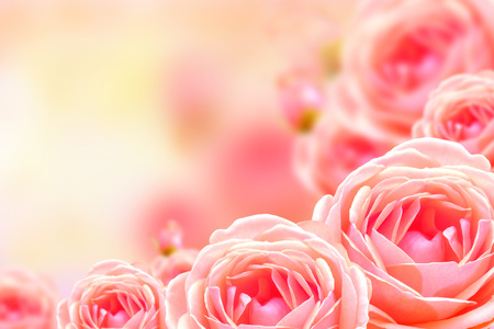 Beautiful rose flower and blur background
