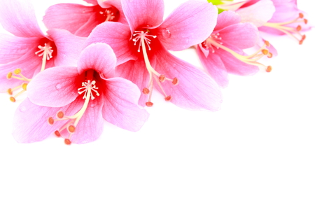 Blooming of pink Hibiscus flower or Chinese rose on white background  photo