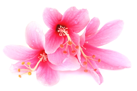 Colorful pink Hibiscus flowers isolated on a white background  photo