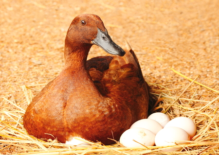 Duck incubator her eggs on the straw nest. photo
