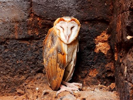 Close up a Barn Owl. photo