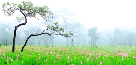 A beautiful Fields of flowers,Krachiao field in Sai Thong National Park in Chaiyaphum province northeastern  of Thailand. photo