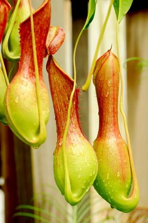 carnivorous: Nepenthes ventrata, a tropical pitcher plants , a carnivorous plants.