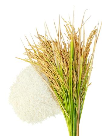 쌀 쌀의 grainsEar 흰색 배경에 격리합니다.