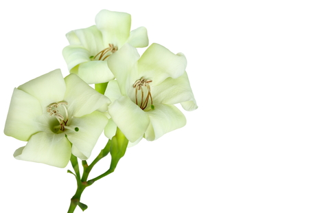 taller: Close-up beautiful white flowers isolated on a white background.