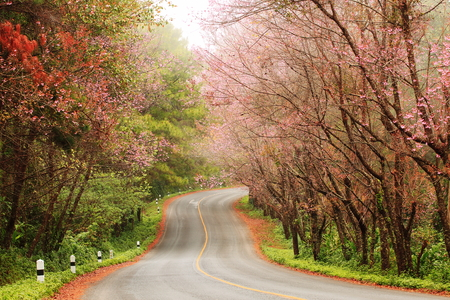 Beautiful pink sakura landscape view on road at Doi Ang Khang, Chiang Mai ,Thailand.