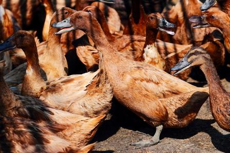 agachado: grupo de patos de color marrón en la granja. Foto de archivo