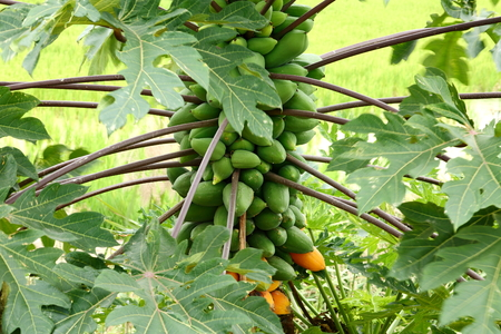 Papaya tree and Papaya fruit. Standard-Bild