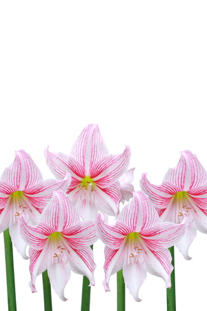 Pink lily flowers isolated on white background.