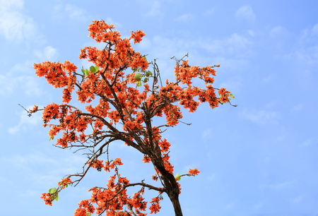 Butea monosperma flower blooming on tree with sky background.