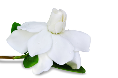 Gardenia jasminoides or Cape jasmine flower on white background.