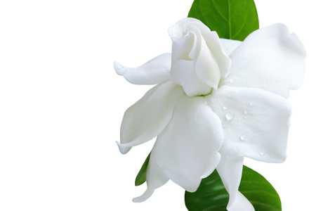 White flower and clipping path, Gardenia jasminoides or Cape jasmine flower on white background.