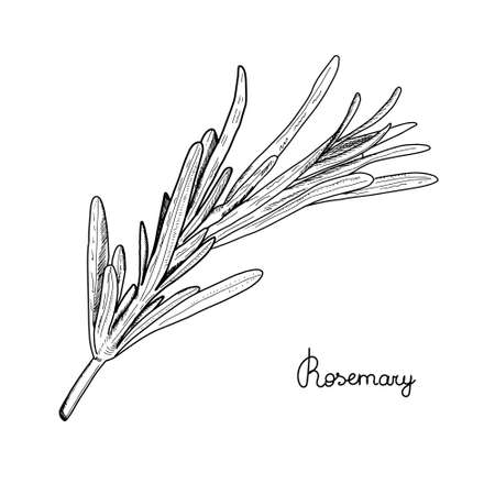 Rosemary branch with leaves sketch. Cooking herbs. Spice. Vector isolated on white background. Outline style
