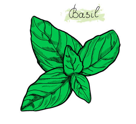Basil leaves sketch colored with lettering sign Basil. Cooking herbs. Spice. Vector isolated on white background. Outline style