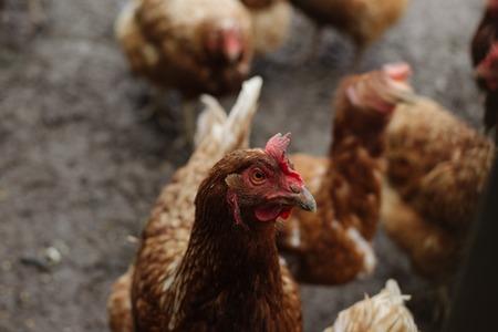 Huhn im Hühnerstall auf dunklem Hintergrund. Hühnchen-Look
