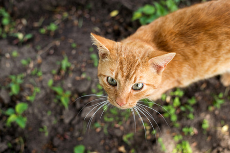 red cat lying on the green grass. view from above