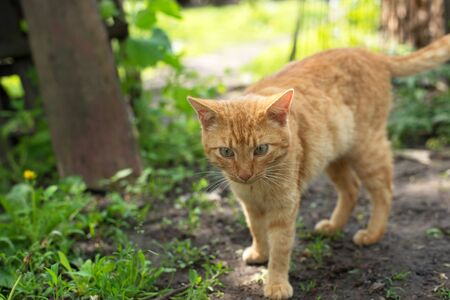 red cat lying on the green grass