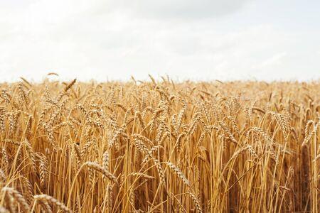 Wheat crop field sunset landscape