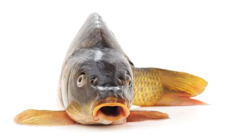 One big carp is isolated on a white background.