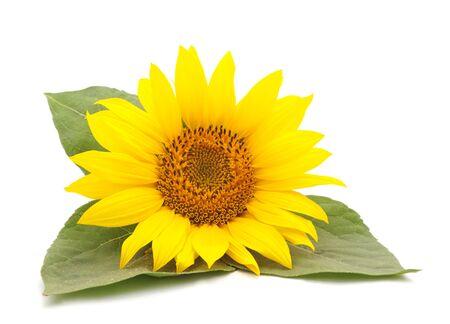 Jeden żółty słonecznik na białym tle.