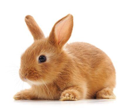 Un lapin rouge isolé sur fond blanc.
