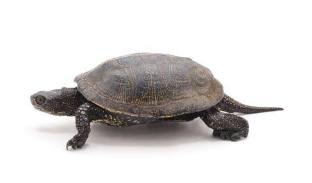 One beautiful turtle isolated on white background.