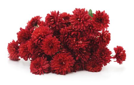 Beautiful red chrysanthemums isolated on a white background.