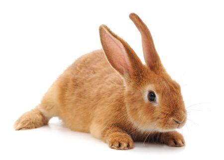 Een bruin konijn geïsoleerd op een witte achtergrond.