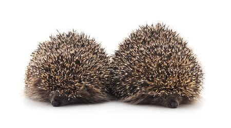 Two brown hedgehogs isolated on a white background.