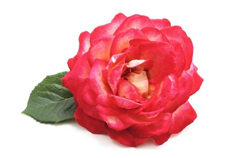 Beautiful pink roses isolated on a white background.