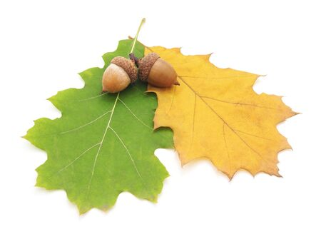 Acorns on a yellow and green leaf isolated on a white background.
