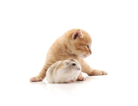 Kitten and hamster isolated on a white background. 写真素材