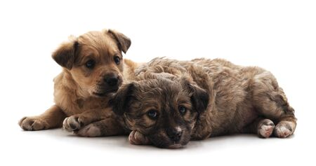 Two small dogs isolated on a white background.