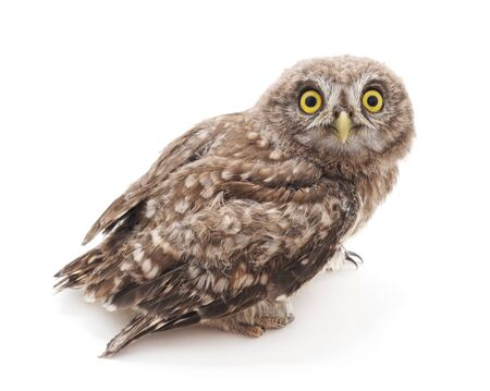 One small owl isolated on a white background. Stock Photo