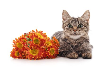Cute little kitten near yellow daisy flowers isolated on a white background.